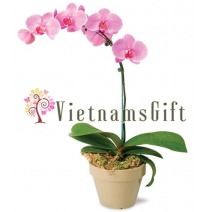 Orchid Plant 3897