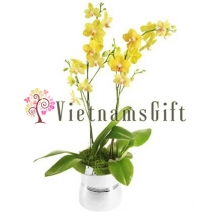 Orchid Plant 3900